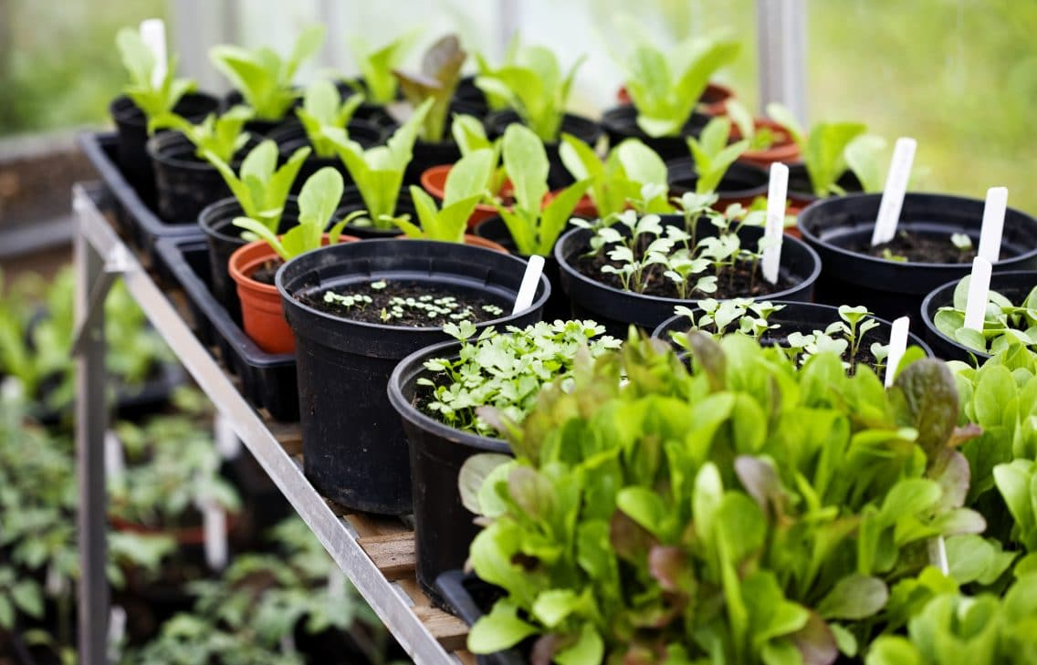 rows of seedlings agriculture startup start-up start up Greenhouse Gardening Vegetable Garden Plant Vegetable
