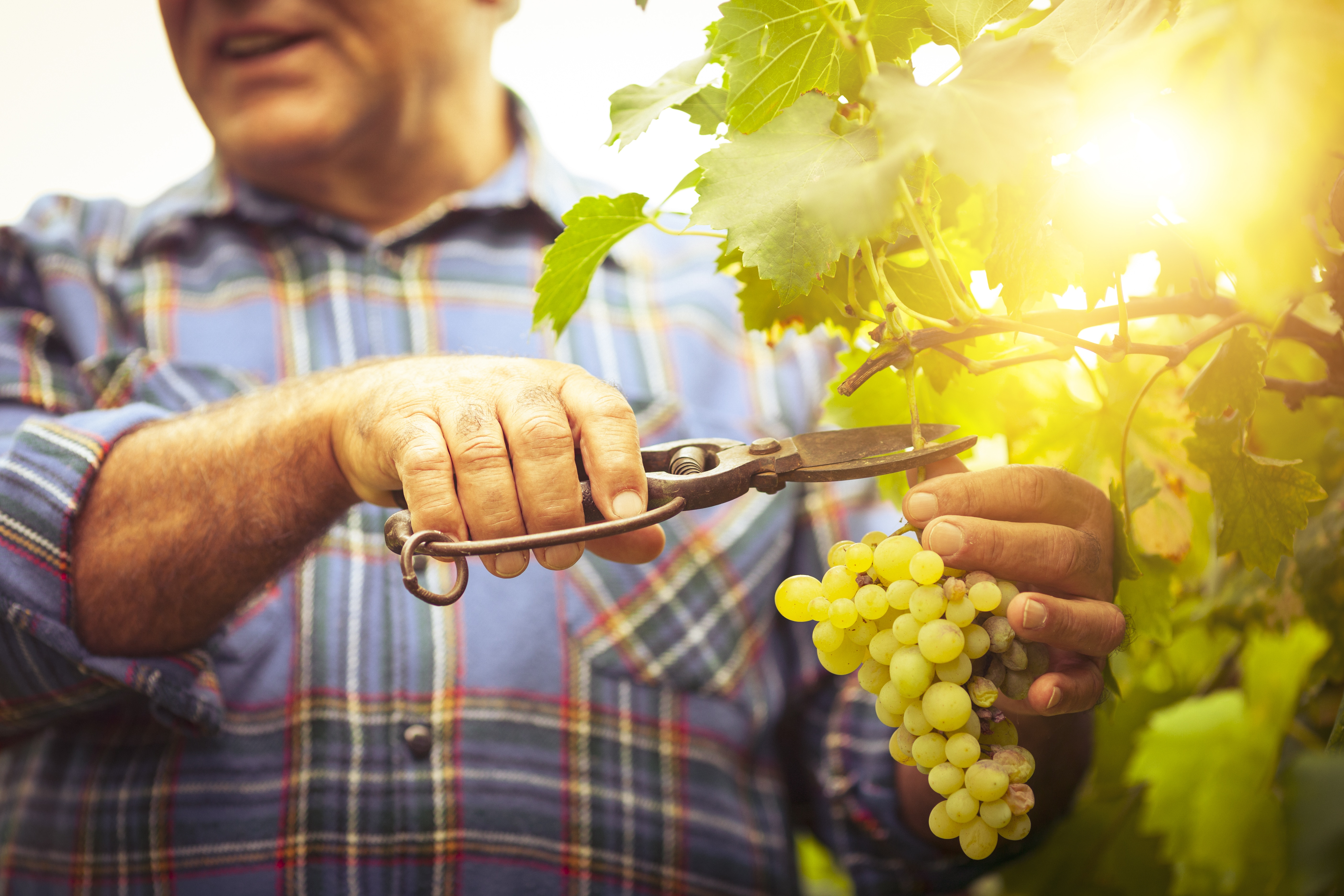 man cutting grapes